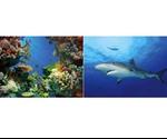 Фон Tetra (Тетра) Акулы/Кораллы Двусторонний 200661